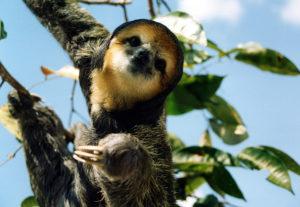 Amazonia Wildlife-sloth-wildlife-amazon forest