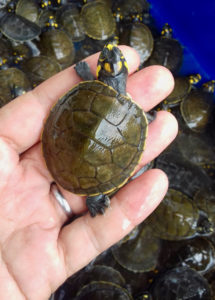 amazon river turtle